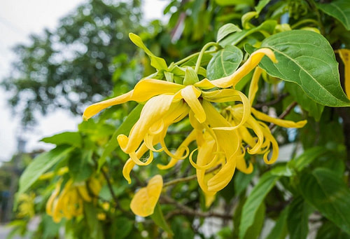 Ylang Oil For Libido – A Basic Guide