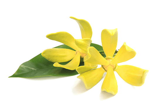 what is the scent of Ylang Ylang like?