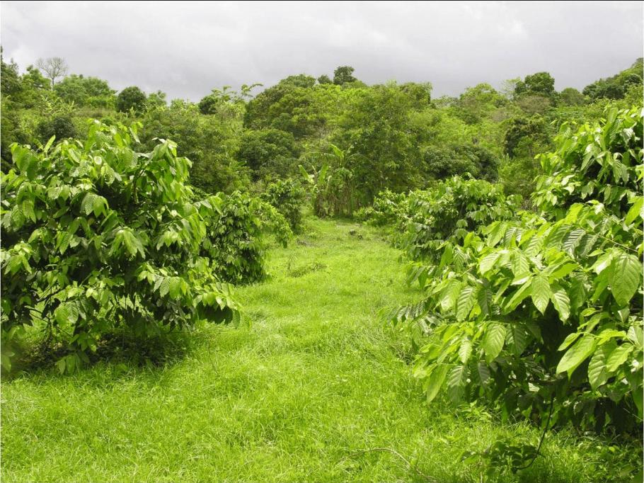 Lush Ylang-ylang trees